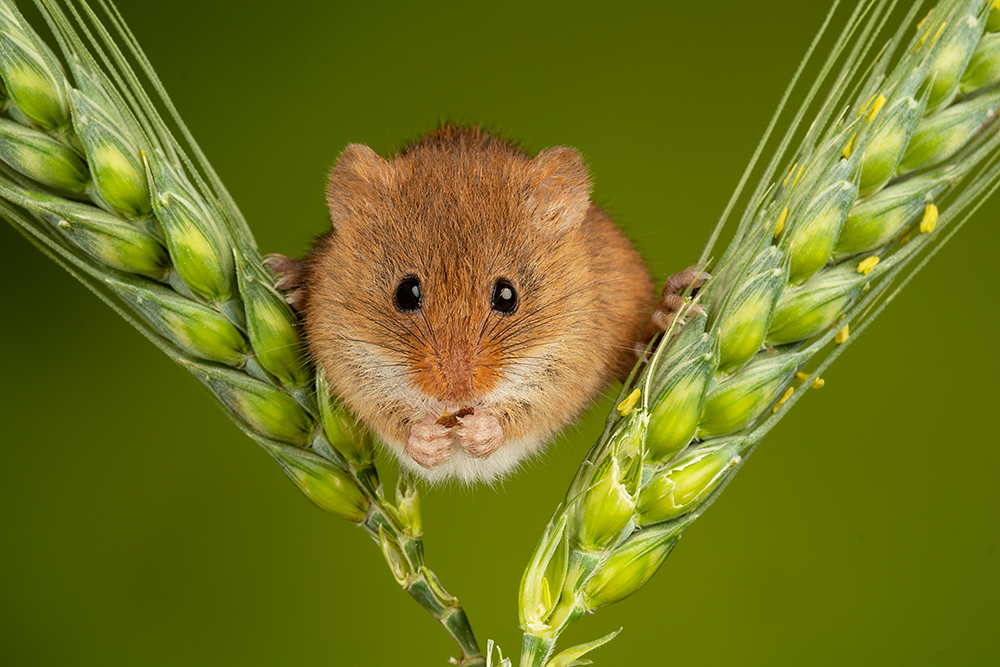 Indoor Harvest Mouse Photography Workshop