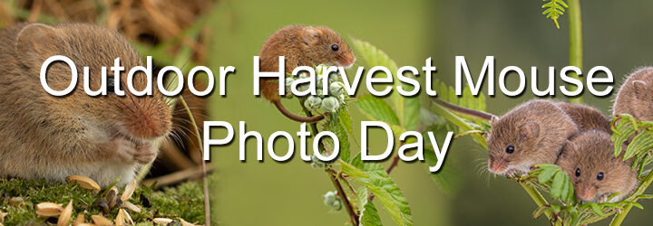 Outdoor Harvest Mouse Photo day