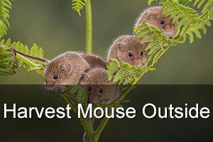 Harvest Mouse Outdoor Photo Workshop