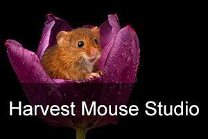 Harvest Mouse Indoor Photo Workshop