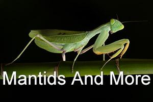 Praying Mantises And MoreMacro Studio