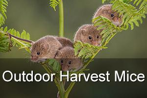 Outdoor Harvest Mouse Photography Workshop